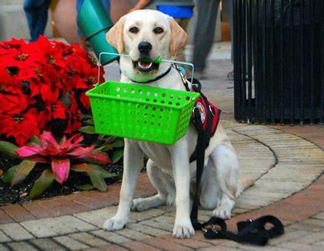 service dogs service dog training dallas tx topaz