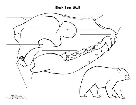 black bear skull diagram  labeling