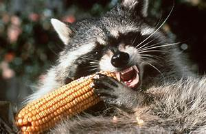 Raccoon 'tossed' from vehicle tests positive for rabies ...