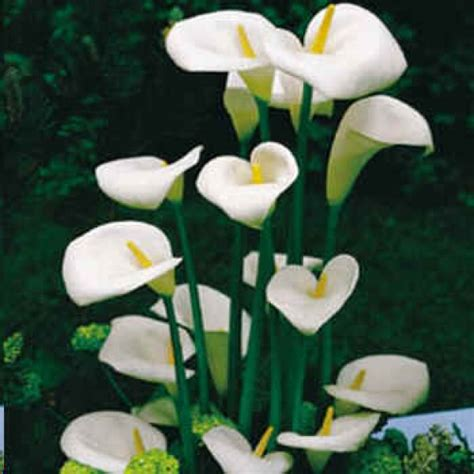 zantedeschia aethiopica bulbs for sale zantedeschia aethiopica calla lily arum lily plants for 2017 pinterest zantedeschia