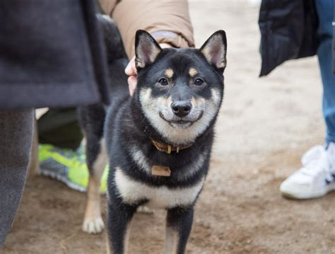 Shiba Inu Health Problems and Issues