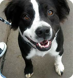 Toby | Adopted Dog | South Bend, IN | Border Collie/Boxer Mix