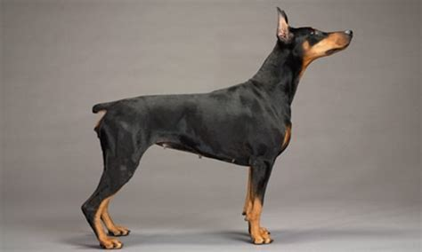 do miniature doberman pinschers shed dogs with pointy ears breeds breeds picture