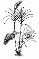 Cane Sugar Drawing Sugarcane Saccharum Coloring Officinarum Plants Pages Health Line Da Usda Benefits Canna Zucchero Getdrawings Fig sketch template