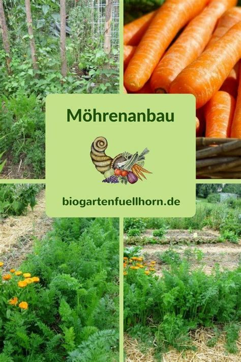 Garten Fenchel Pflanzen by So Gelingt Der Anbau M 246 Hren Biogarten F 252 Llhorn