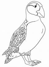Puffin Coloring Papegaaiduikers Atlantic Kolorowanki Kleurplaat Printable Malvorlage Horned Stimmen Coloringonly Stemmen sketch template