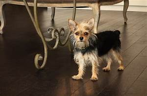 Chorkie Breed History, Information & Pictures | PawCulture
