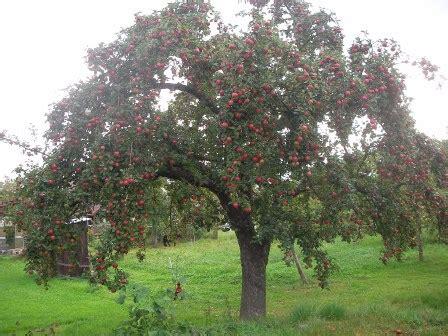 bäume schneiden im sommer apfelbaum schneiden sommer apfelbaum schneiden die anleitung tipps zum richtigen