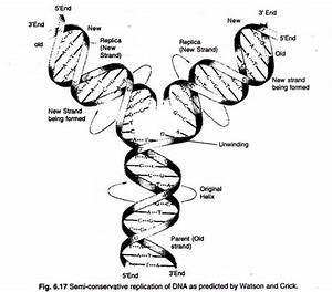 Dna Replication  3 Possible Ways And Experiments  With