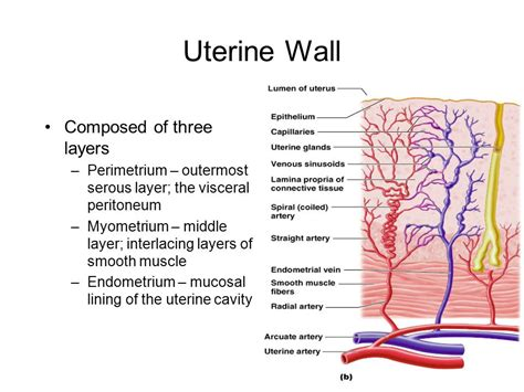 uterine wall shedding pregnancy animal reproduction ppt