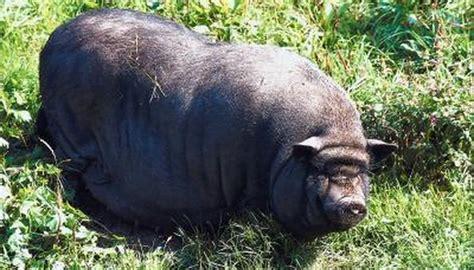 pet pot bellied pig stop biting animals