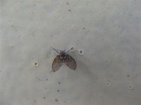 rid  drain flies tiny flies small flies