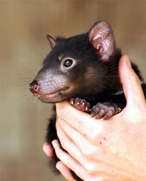 Tasmanian devil is the largest marsupial carnivore. Save the Tassie Devil - Jennifer Marohasy