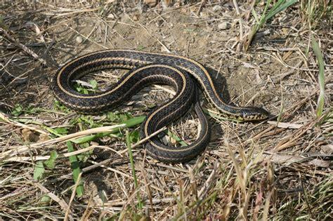 plains garter snake thamnophis radix reptiles