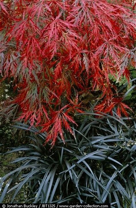 japanese maples landscaping images  pinterest