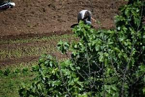 Repiquer Des Oignons : du semis au repiquage des oignons doux le blog de bonnaude ~ Voncanada.com Idées de Décoration