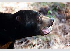 Malayan Sun Bear Zoo Atlanta