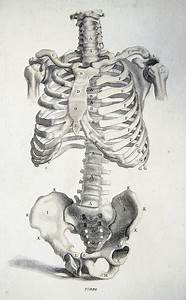 Bones Of The Torso From Anatomy Improv U0026 39 D And Illustrated