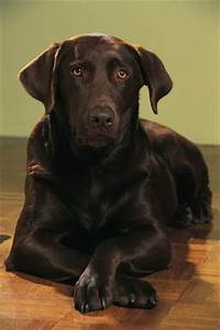 Does A Chocolate Labrador Have White Hair