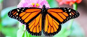 Monarch Butterfly Designated As A National Priority