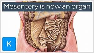 New Organ Classified In The Human Body