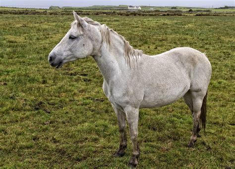 connemara pony ireland peninsula west renvyle coast