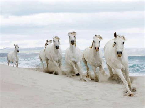 White Horses Hd Wallpapers  Horses For Desktop Hd