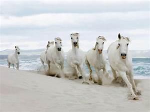 White Horses HD Wallpapers – Horses For Desktop – HD ...