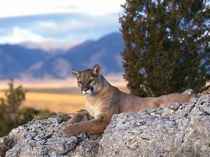 Lion Mountain Lions California Desktop Resolution Oklahoma