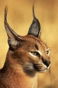 caracal cat caracal cat animals wiki pictures stories