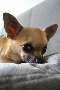 Chihuahua dog lovers images Chihuahua HD wallpaper and ...