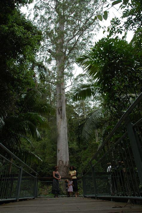 tallest tree  nsw eucalyptus grandis flooded gum