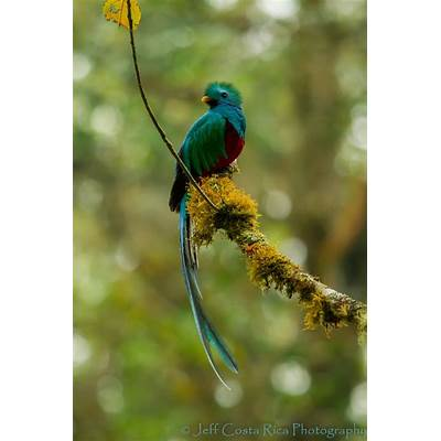 17 Best images about Quetzal bird Quetzals The