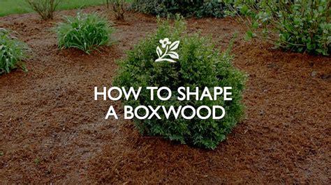 how to shape shrubs how to shape a boxwood monrovia garden youtube