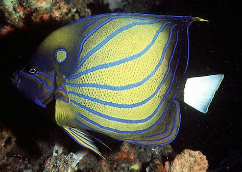 setelan fish blue rx blue ringed angelfish pomacanthus annularis species