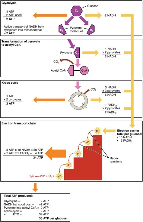 carbohydrate metabolism anatomy  physiology