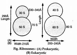 What Is The Structure Of Ribosome   Name Two Organelles Of