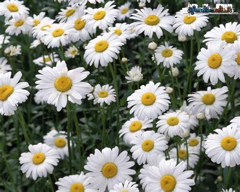 sfondi fioriti sfondilandia it sfondo gratis di margherite fiorite per