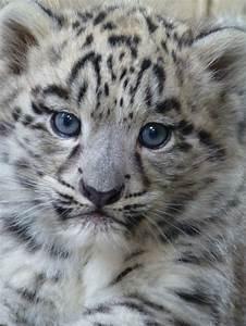 101 best Snow Leopard images on Pinterest | Big cats, Snow ...