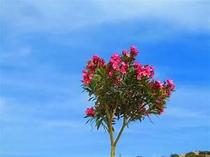 Oleander Stecklinge Wurzeln Nicht : oleander vermehren mit stecklingen oder samen ~ Lizthompson.info Haus und Dekorationen