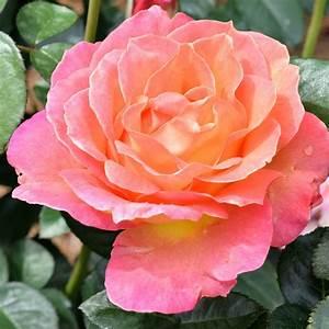 Rosen Schneiden Wann : wann schneidet man rosen wann rosen schneiden anleitung zum rosenschnitt wann pflanzt man ~ Eleganceandgraceweddings.com Haus und Dekorationen