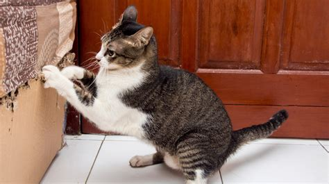 cat clawing furniture snowshoe 2015