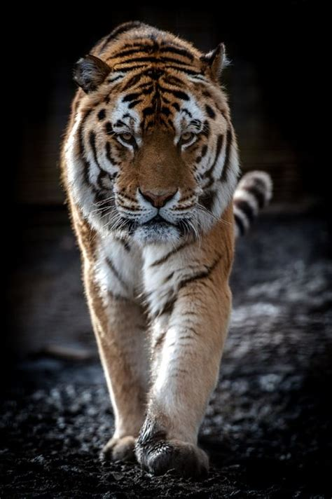 Best Images About The Intensity Tigers Pinterest