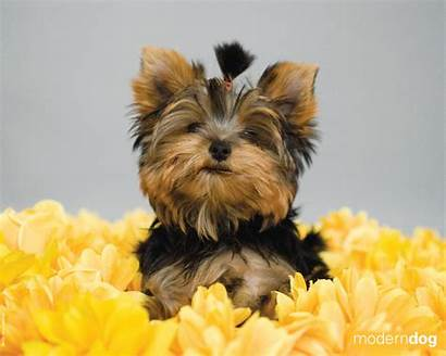 Puppies Dog Yorkie Wallpapers Modern 1024 1280