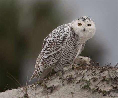 arctic snowy owls are flocking south toronto star