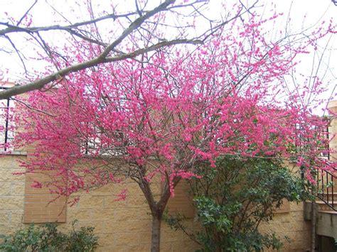 small cherry tree varieties 25 best ideas about prunus mume on pinterest japanese bonsai tree maple bonsai and japanese