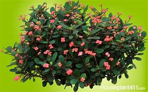 Crown of Thorn #houseplants are easy care & full of ...
