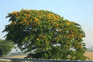 national tree of philippines narra tree 123countries