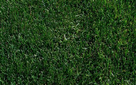 types of lawns family tree and turf care grass types