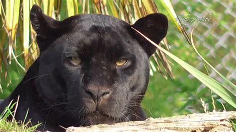 Black Jaguar by Black Jaguar Stare